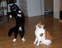 When kitties play charades, they imitate their Humans.