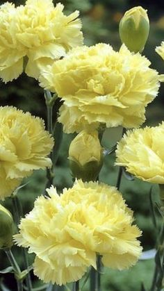 Yellow Carnations, Mini Carnations, White Carnation, Peach Flowers, Cream Flowers, Colorful Flowers, White Flowers, Hollyhocks Flowers, Flowers For Sale