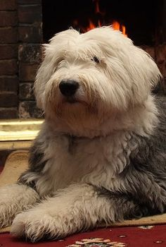 English Sheep dog want me one of these