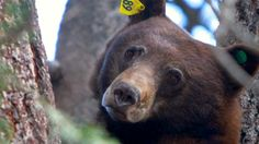 On May 6th, a black bear known as Jasper was shot by aWashoe County Sheriff's Office deputy in an attempt to scare her and her cubs away.   Yet instead of using a rubber bullet as the deputy reportedly intendedto, he/she used a live bullet. Jasper sustained injuries for which she was being treated,...