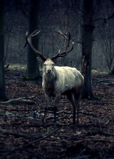 """Kronhjorten"" (Stag) by Ditte Marie Hallig The white stag, like many other mythical creatures, wanders through the tangled forests and wild moorlands of our distant past. Amor Animal, Mundo Animal, Beautiful Creatures, Animals Beautiful, Cute Animals, Nature Sauvage, Mystique, Nature Animals, Animal Photography"