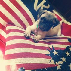 My love.  #Pug #Carlino #puppy