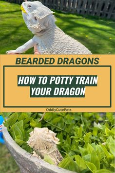 It is possible to potty train a bearded dragon. It takes some work and a lot of patience but it's possible. Read more in this guide. Bearded Dragon Vivarium, Bearded Dragon Enclosure, Bearded Dragon Terrarium, Bearded Dragon Habitat, Bearded Dragon Food List, Bearded Dragon Cage, Dragon Facts, Pet Lizards, Cute Reptiles