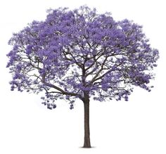 jacarandá illustration - Buscar con Google
