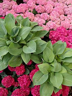 hostas and hydrangeas ~ gorgeous partners!! I've been looking for a combination for a shady flower bed-perfect!