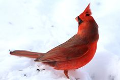 Male northern cardinal // by Thomas Hoar, Newcastle, ON