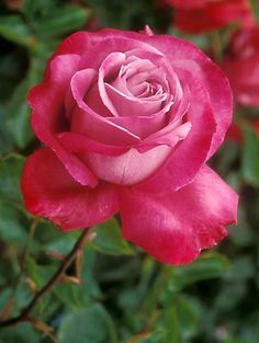 Blue River Rose. I used to have a bush of these. They are a beautiful lavender color in the center with red tips. So sad it died in one of our moves.
