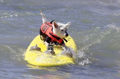 Dogs surfing.