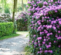 It is Rhododendron time!