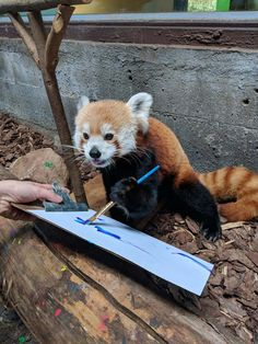 Sorrel the Red Panda doing some painting Red Panda Gif, Red Panda Cute, Panda Love, Cute Funny Animals, Cute Baby Animals, Animals And Pets, Cute Dogs, Photo Elephant, Panda Painting