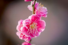 Plum blossoms by marbee .info, via 500px