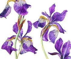 Iris Sibericus by Rosie Sanders - botanical artist Iris Flowers, Botanical Flowers, Botanical Prints, Watercolor Flowers, Watercolor Paintings, Watercolors, Iris Painting, Silk Painting, Flower Artwork