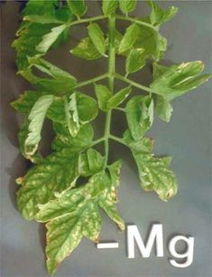 Deficiency Symptoms in Tomatoes