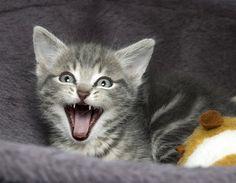 Grisou [4]  kitten