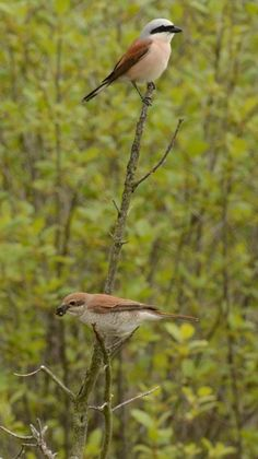 Red-backed shrike ♂ ♀(Lanius collurio), grauwe klauwier