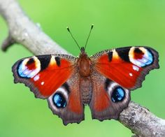 Flowers and butterflies, photography by Adam Gor - Ego - AlterEgo Most Beautiful Butterfly, Beautiful Flowers Pictures, Flower Pictures, Butterfly Images Photography, Dragonfly Photography, Free Photography, Nature Photography, Photography Flowers, Peacock Butterfly