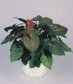 Syngonium plant Maria Allusion