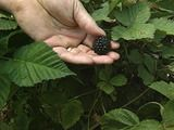 how to plant blackberries..  I am soooo doing this when I get my yard.. :D
