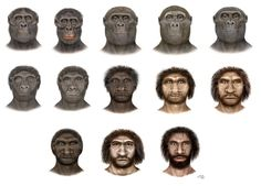 -Australopithecus afarensis  -A. africanus  -Paranthropus aethiopicus  -P.boisei  -P.robustus  -Homo habilis  -H.rudolfensis  -H.ergaster  -H.erectus  -H.heidelbergensis  -H.rhodesiensis  -H.neanderthalensis  -H.sapiens