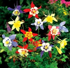 Columbine  McKanas Giant Mixed Colors  by HeirloomsRUsSeeds, $1.50