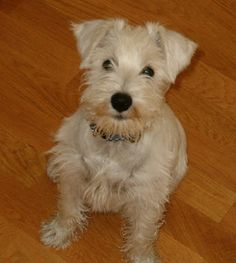 Ranked as one of the most popular dog breeds in the world, the Miniature Schnauzer is a cute little square faced furry coat. Schnauzer Puppy, Schnauzers, White Miniature Schnauzer, Most Popular Dog Breeds, Cute Little Girls, Dog Pictures, Yorkie, Miniatures, Puppies