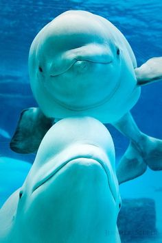 Beluga Whale! Love these guys, they're so cute!