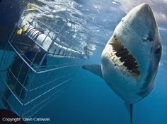 Great White shark cage diving in South Africa!!!! How exciting!