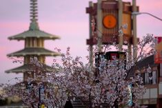 Japantown in San Francisco is the perfect place in the city to spot cherry blossoms.