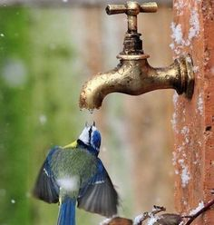 Amazing how these beautiful birds can find water if they need it, even if it is from a faucet! Amazing how these beautiful birds can find water if they need it, even if it is from a faucet! Cute Birds, Pretty Birds, Beautiful Birds, Animals Beautiful, Beautiful Pictures, Pretty Flowers, Simply Beautiful, Absolutely Stunning, Blue Flowers
