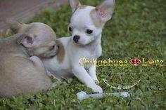 Chihuahuas Love - Comprar Chihuahua Con Microchip. El Microchip y Los Chihuahuas.