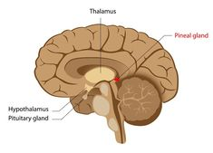 Melatonin is a hormone that is created in the human pineal gland, a pea-sized gland located just above the middle of the brain. Part of its crucial role is to regulate the circadian rhythm and therefore modulate the sleep-wake cycle. Brain Anatomy, Medical Anatomy, Anatomy And Physiology, Pituitary Gland, Pineal Gland, Imbalanced Hormones, Opening Your Third Eye, Light Sensitivity, Testosterone Levels