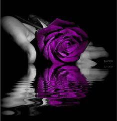 Image detail for -Purple rose image by buddychange12 on Photobucket