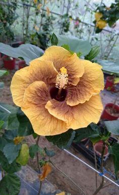Hibiscus -- no cultivar name given Strange Flowers, Rare Flowers, Exotic Flowers, Amazing Flowers, Beautiful Flowers, Unique Plants, Exotic Plants, Tropical Plants, Tropical Flowers