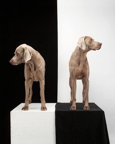 Bought this !    Game Board, by  William Wegman - 20x200.com