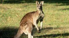 Afbeeldingsresultaat voor kangaroo