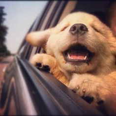 there's literally nothing as happy as a dog with its head out of the car window <3