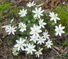 Using Georgia's Native Plants | Georgia Gardening .Rue anemone (Thalictrum thalictroides) is an early blooming plant found in woodlands through Atlanta.