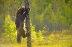 Ahma - Wolverine (Gulo gulo). Finland. Photo by  Vittorio Ricci.