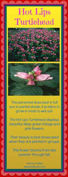 www.Sollecito.com Hot Lips Turtlehead - Fall Flowers #HotLipsTurtlehead #LandscapeDesigner #FrontYardLandscaping