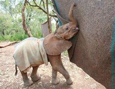 Comfort blanket gets orphaned baby elephants to feed