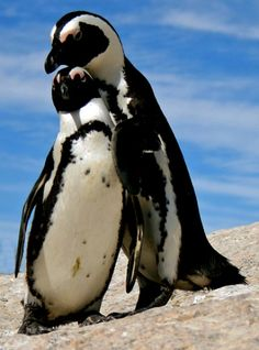 African penguin morning greetings!!!
