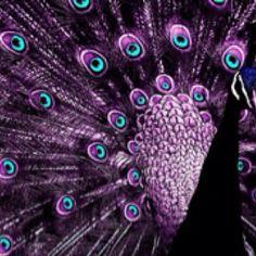 Amazing wildlife -  Peacock photo #peafowl