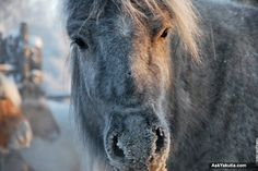 Winter travel to Verkhoyansky District in Yakutia, Russia's Siberia (69 photos) + Wolf Emergency Explanation - See more at: http://askyakutia.com/2013/11/winter-travel-to-verkhoyansky-district-of-republic-sakha-yakutia-siberia-russia-photo-report-wolf-attack/#sthash.DRjiuHK5.dpuf