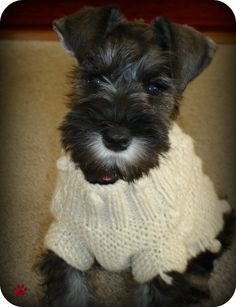 Sweet Faced mini Schnauzer so darling with her cute little sweater on