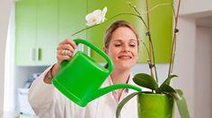 Správne by ste mali orchideu zalievať tak, že črepník ponoríte do vody.