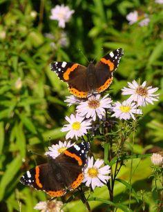 Atalanta's vlinders