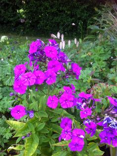 Phlox Paniculata 'Purple Flame'. No interest from slugs even though planted straight from a garden centre.