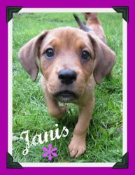 Janis is an adoptable Beagle/Lab mix puppy in central NJ. Janis(Joplin) is a soulful little girl who's no longer singin' the blues! She is one of a litter of 5 puppies that was rescued from a shelter....