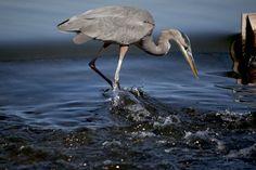 Lancaster swans and canada goose on pinterest for Balboa lake fishing
