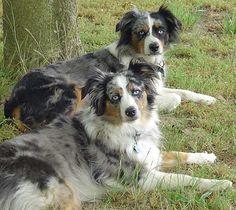 Miniature Australian Shepherd | Jacquelyn Palermo - J & F Miniature Australian Shepherds